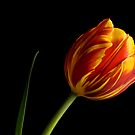 Kees Nelis Tulip by prbimages