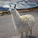 Lauca Lluta Llama by Krys Bailey