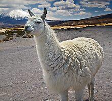 Lauca Lluta Llama by Krys Bailey