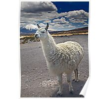 Lauca Lluta Llama Poster