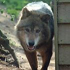 Canadian Timber Wolf by Stan Daniels