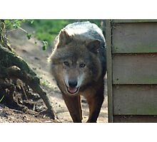 Canadian Timber Wolf Photographic Print