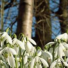 Snowdrops in Winter by Luckyman