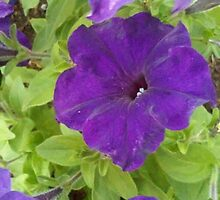 Dark Purple velvet petunia with green leaves by soniamattson