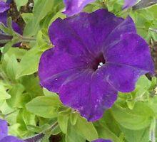 Dark Purple velvet petunia with green leaves by soniamattson