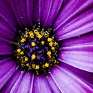Purple by Lass With a Camera