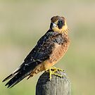 Falco. by James Peake Nature Photography.