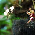 brown orchid by bayu harsa