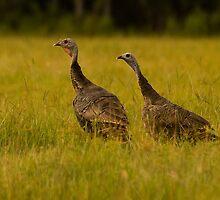 Osceola Turkeys by Phillip  Simmons