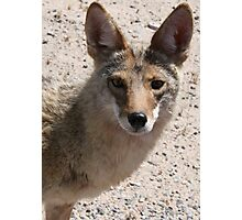 Coyote looking at you Photographic Print