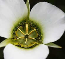 Sego Lily by Julie's Camera Creations <><