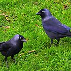 Two Jackdaws........... by lynn carter