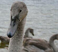 ..... The Grey Swan........ by satterflOw