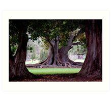 Moreton Bay Fig Adelaide Botanic Gardens Art Print