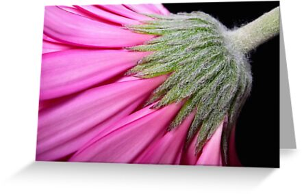 Pink gerbera by Magee