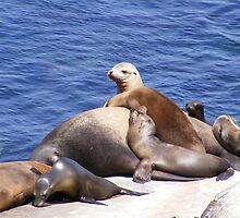 Sea Lions ~ La Jolla, California by Marie Sharp