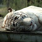Bengal White Tiger, sleeping by Stan Daniels