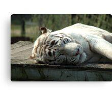Bengal White Tiger, sleeping Canvas Print