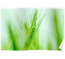 green ears of wheat Poster