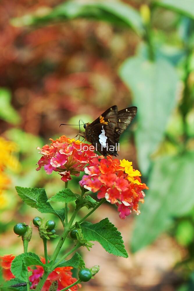 Butterfly by Joel Hall