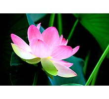 The Last Lotus Photographic Print