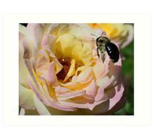 Bumble Bee Landing On Rose Art Print