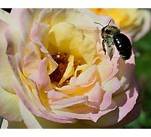 Bumble Bee Landing On Rose Photographic Print