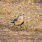 Western Bluebird  by Robert Kelch, M.D.