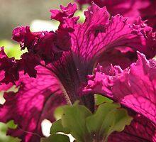 Burgundy Petunias by Lucy Hollis