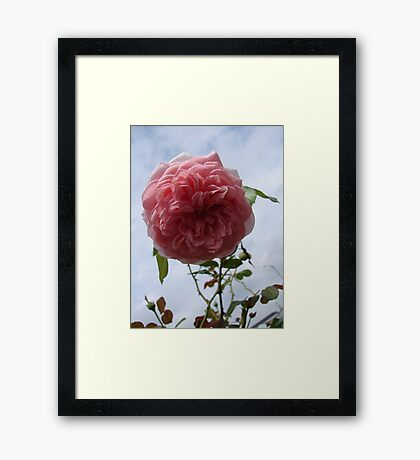 La Rosa y Las Nubes (The Rose and the Clouds) Framed Print