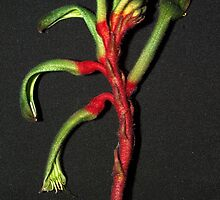 Kooky kangaroo-paw by SharonD