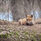 Kit Fox 2011-2   by Thomas Young