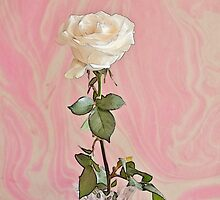 White Long Stemmed Rose by Sandra Foster