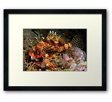 Dwarf Lionfish Framed Print