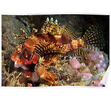 Dwarf Lionfish Poster