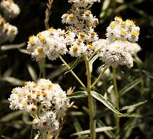 Western Pearly Everlasting by strangecharmart