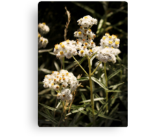 Western Pearly Everlasting Canvas Print