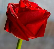 Rose Red by haymelter