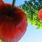 Poppies by wwyz
