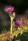 Thistle by SWEEPER