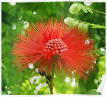 Red Puffy Firework Flower Poster