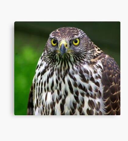 Falcon #1 Canvas Print