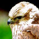 Saker Falcon by Trevor Kersley