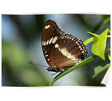 Common Eggfly Butterfly Poster