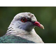 White Headed Pigeon Photographic Print
