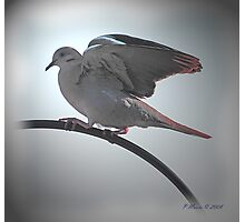 Dove of Peace Photographic Print