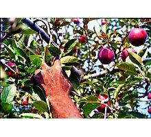 The Apple Picker Photographic Print