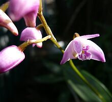 Orchid 1-1 by beeden