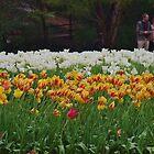 Tulip Beds by lezvee
