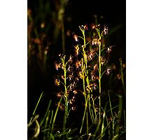 Sundew Sunset Photographic Print